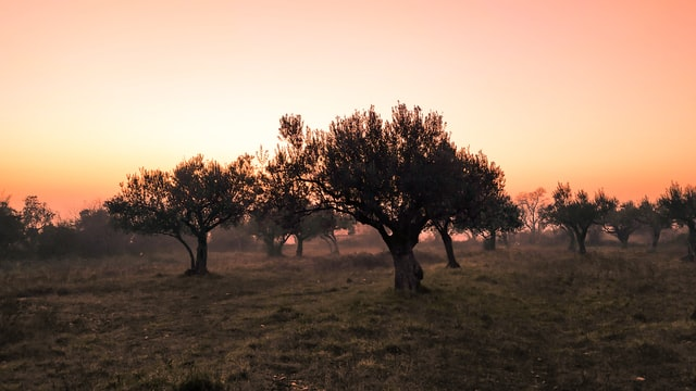 the olive tree in israel